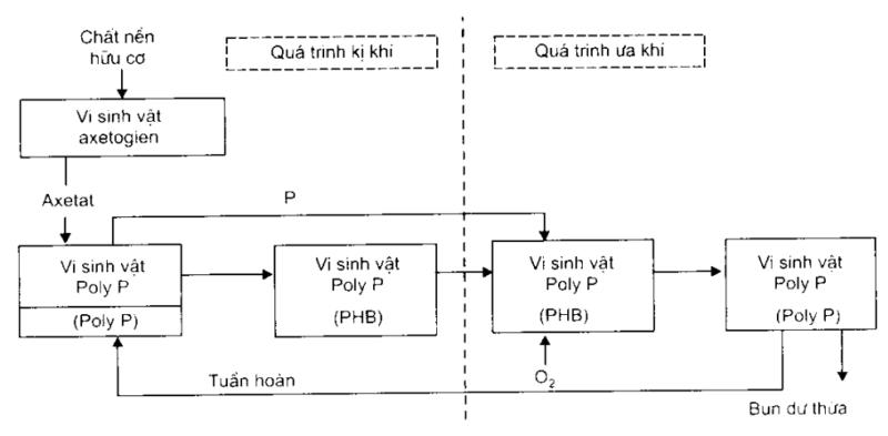 Hình 3: Sơ đồ mô tả quá trình sinh hóa khử phốtpho trong nước thải